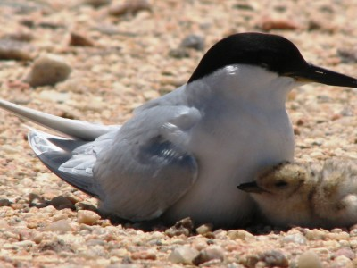 Development of a Species Action Plan (Damara Tern)